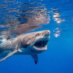 Shark Diving by Shark Diver a shark with his teeth showing swimming in the ocean